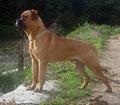 The Beautiful Bullmastiff.