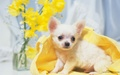 The Sweet Chihuahua - all-small-dogs wallpaper