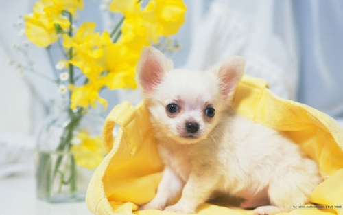 All Small Dogs wallpaper possibly with a chihuahua titled The Sweet Chihuahua