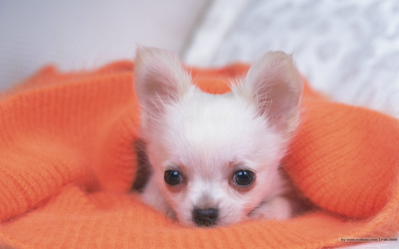 Small Dogs Chihuahua