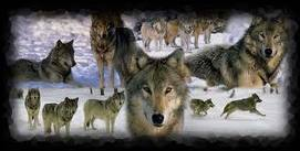 the Anubian's wolf pack wallpaper called a whole heap of wolves