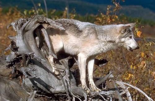 serigala, wolf imej