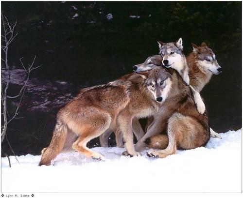 lobo imagens