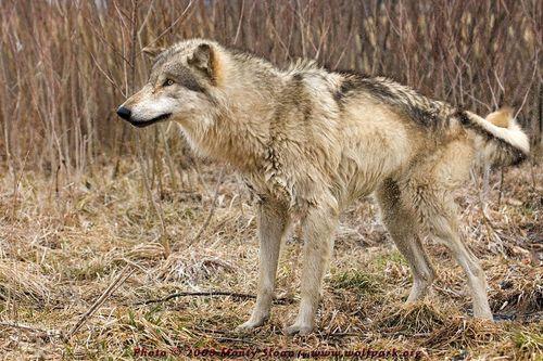 بھیڑیا تصاویر