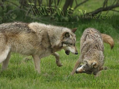 loup images