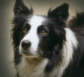 A Beautiful Border colley, collie for Berni ❤