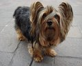 Australian Silky Terrier - all-small-dogs wallpaper