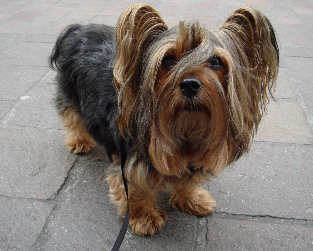 Australian Silky Terrier - All Small Dogs Wallpaper (18774661 ...