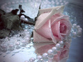 Beautiful rose - daydreaming wallpaper