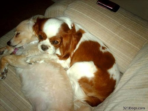 All Small Aso wolpeyper possibly containing a blenheim asong spaniel and a king charles asong spaniel entitled Cavalier King Charles asong spaniel
