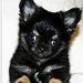 Cutie - chihuahuas icon