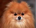 Pomeranian - all-small-dogs wallpaper