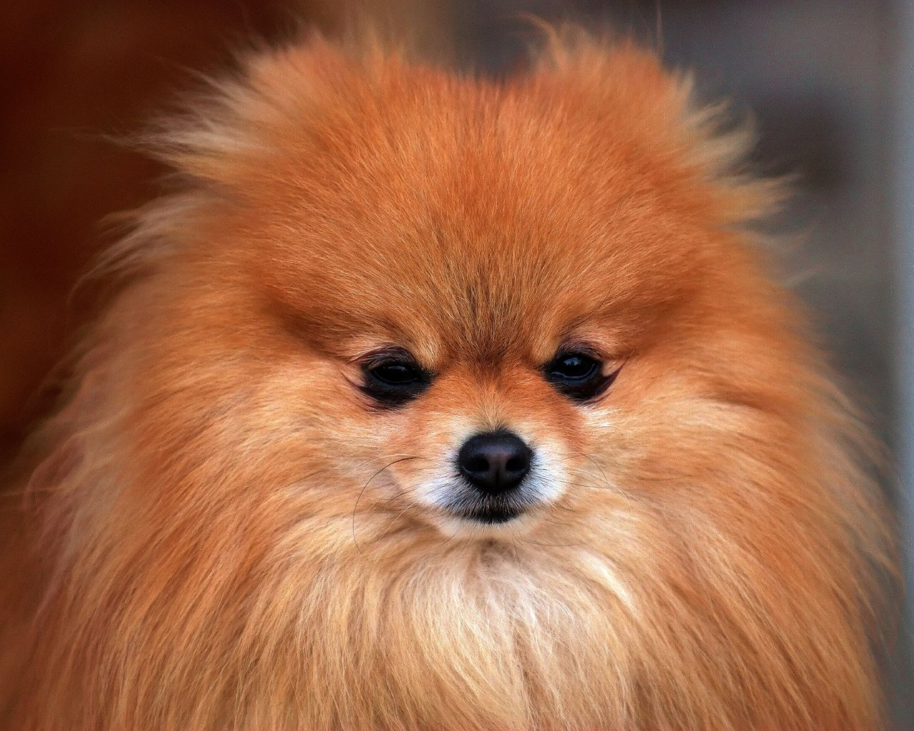 Small Dogs Pomeranian
