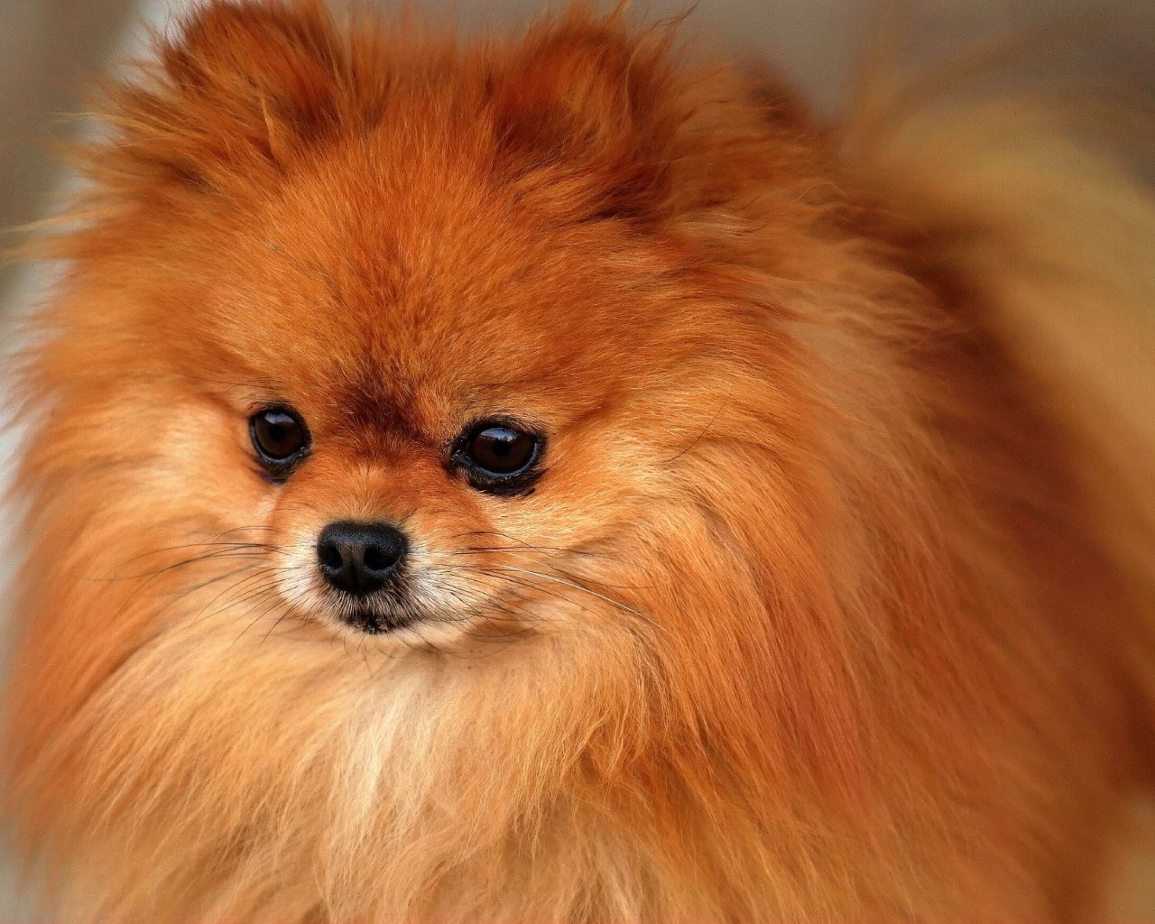 All Small Dogs Pomeranian