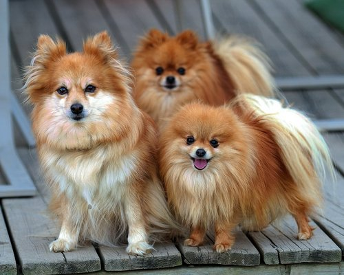 All Small Dogs wallpaper containing a pomeranian titled Pomeranian