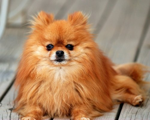All Small Dogs wallpaper probably containing a pomeranian titled Pomeranian