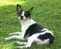 ratto terrier