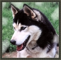 Siberian husky - siberian-huskies photo