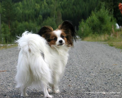 All Small Dogs wallpaper probably containing a papillon entitled papillon