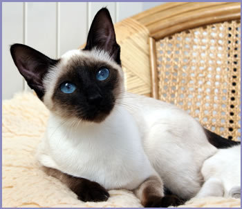 Siamese Cats پیپر وال containing a siamese cat called Beautiful Siamese