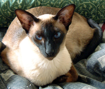 Siamese 猫 壁纸 containing a siamese cat called Beautiful Siamese