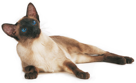 Siamese बिल्ली वॉलपेपर with a siamese cat titled Beautiful Siamese