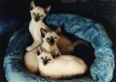 Siamese Katzen Hintergrund probably with a siamese cat entitled Beautiful Siamese