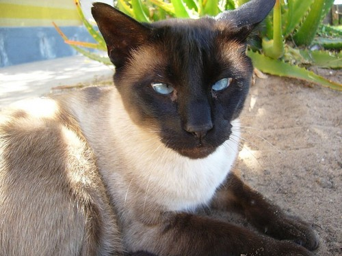 Siamese Кошки Обои with a siamese cat titled Beautiful Siamese