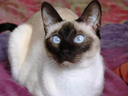 Siamese gatos fondo de pantalla with a siamese cat entitled Beautiful Siamese
