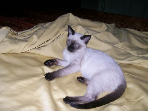 Beautiful Siamese