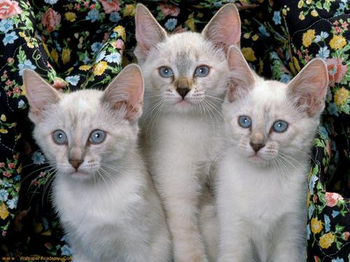 Siamese बिल्ली वॉलपेपर possibly with a tom, a kitten, and a tabby called Beautiful Siamese