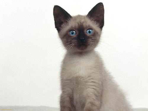 Siamese 猫 壁纸 containing a siamese cat entitled Beautiful Siamese