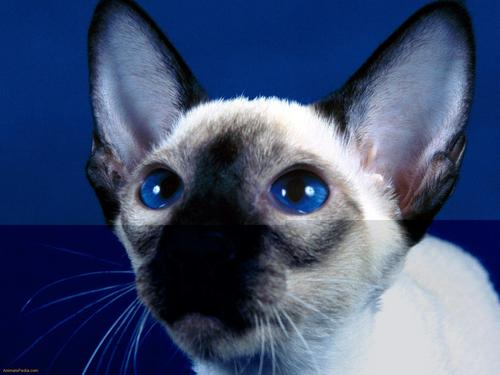 Siamese 猫 壁纸 containing a siamese cat titled Beautiful Siamese