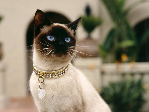 Siamese Кошки Обои containing a siamese cat called Beautiful Siamese