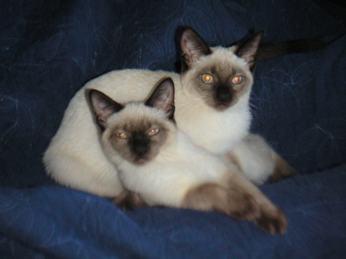 Siamese Cats پیپر وال with a siamese cat called Beautiful Siamese