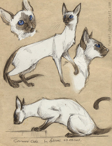 Siamese Cats پیپر وال titled Beautiful Siamese