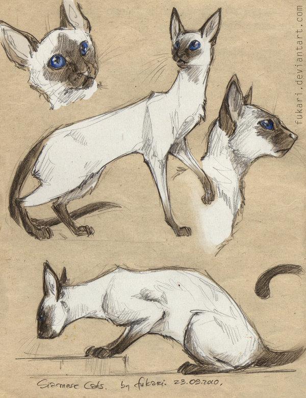 Beautiful Siamese