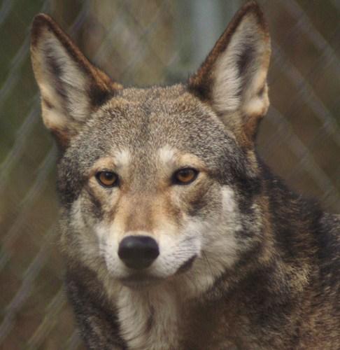 My lobo