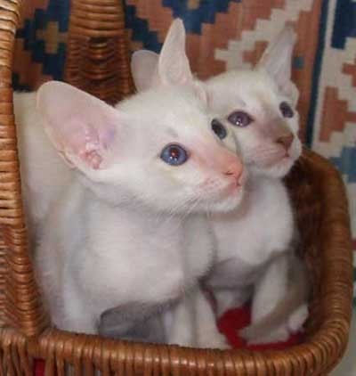 Siamese Cats پیپر وال entitled Siamese Kittens