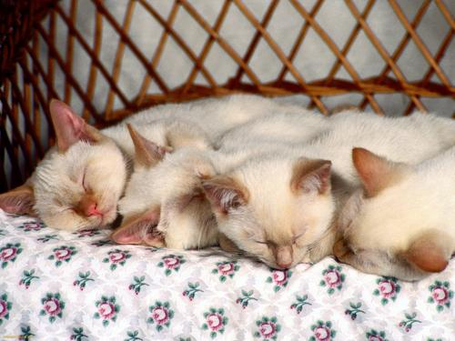 Siamese Cats achtergrond entitled Slumbering Siamese