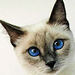 The Oriental Beauty - siamese-cats icon