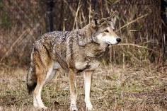 red بھیڑیا