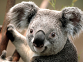 the koala - wildlife photo