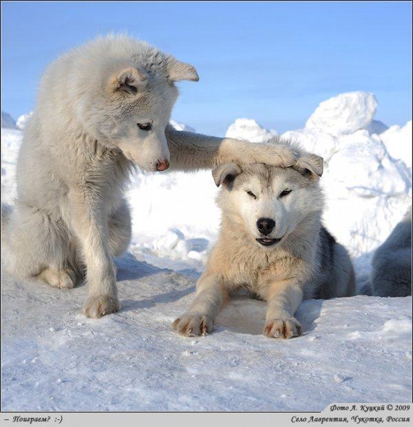 wolf kissing its cub - photo #36