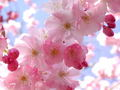 facebook - Cherry Blossoms wallpaper