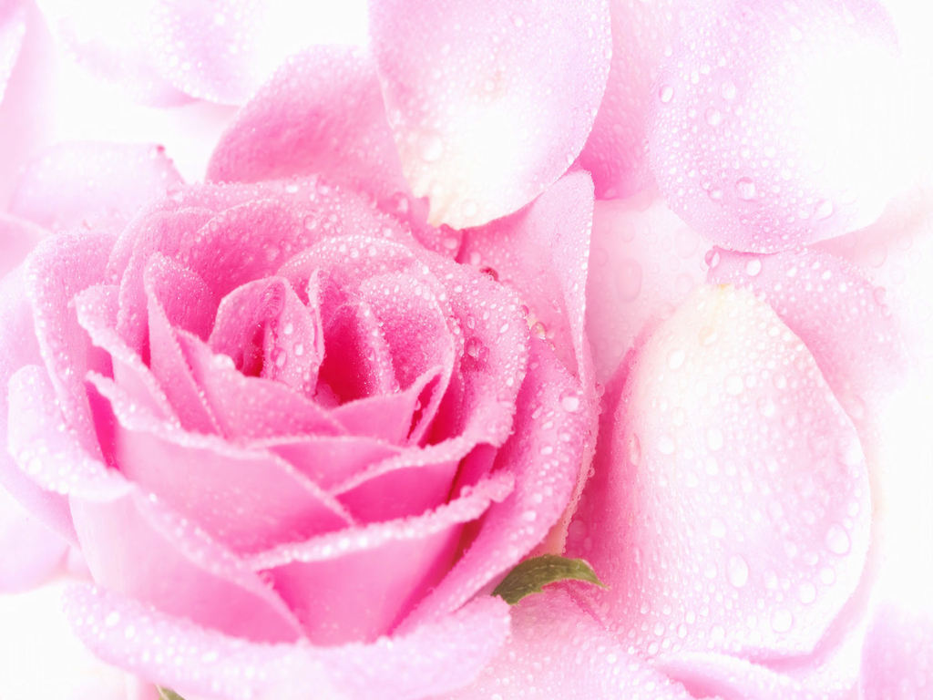 Daydreaming Images Lovely Rose Hd Wallpaper And Background Photos