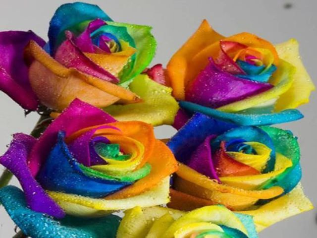 Rainbow roses roses image 18998644 fanpop for Pictures of rainbow roses