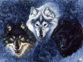 Winter wolves - yorkshire_rose wallpaper