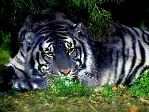 Black tigres
