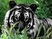 Black tigers - black-tigers icon
